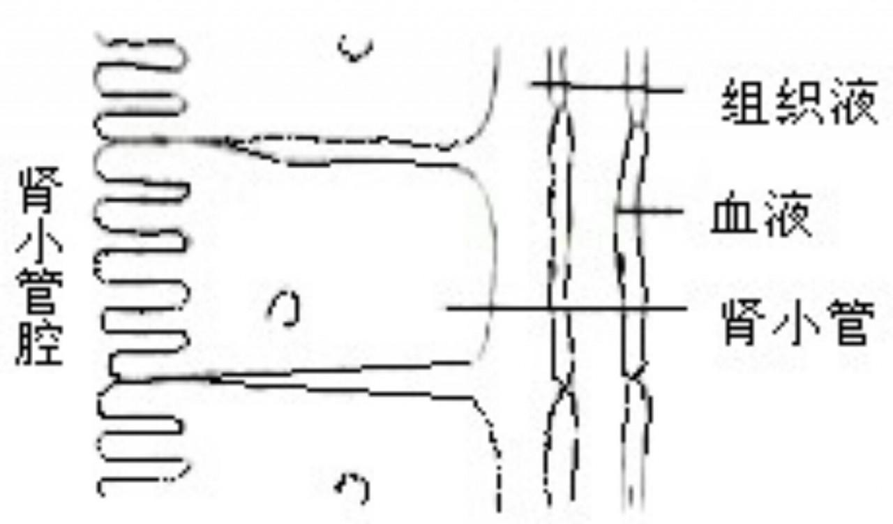 下图为肾小管及相关结构示意图.