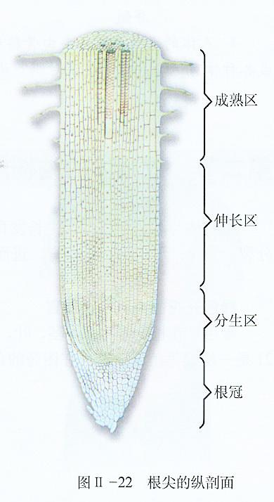 题目: 植物根部示意图分生区?不怎么懂,成熟区,根毛区什么的,然后是各部位的特征,有大哥讲解一下么 解答: 根冠位于根尖分生区先端的一种保护结构,由许多薄壁细胞组成.根在土壤中生长时,由于根冠表层细胞受磨损而脱落,此即根冠明显的特点. 分生区细胞小,排列密而整齐,细胞壁薄,细胞核大,细胞质浓,无液泡.