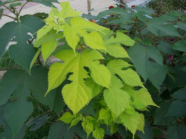 谁有无椹�9�$9.���dy��_这种树是叫什么名字.