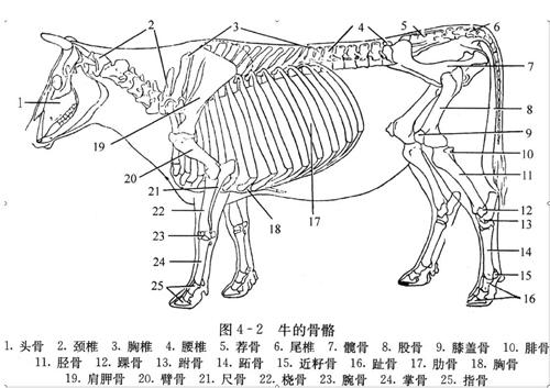 从身体出来后到指尖,数一数,手和脚的骨头都是有六段骨;再看图上牛的