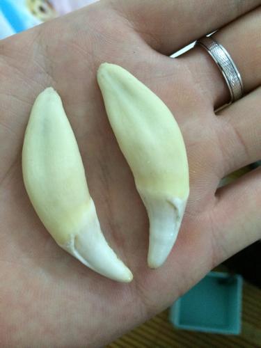 什么动物的牙齿