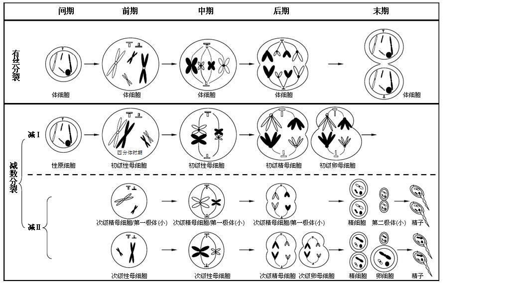 有丝分裂 减数分裂 染色体的形态图像
