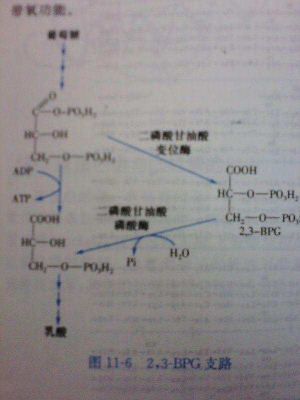 2,3-二磷酸甘油支路