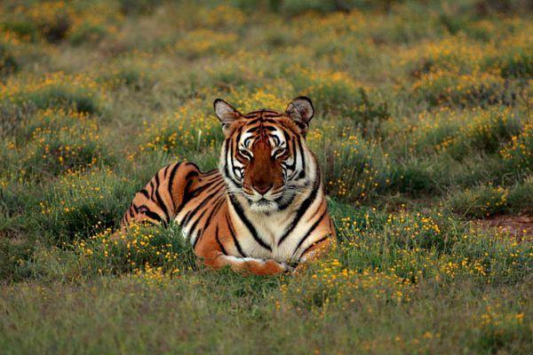 在所有虎亚种中,华南虎的条纹数量可以说是最少的.