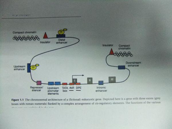 请问下面基因结构图中的 inr 和 dpe表示什么意思? 有
