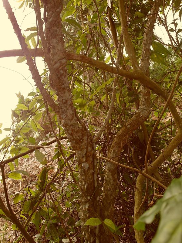 硬杂木树叶图片
