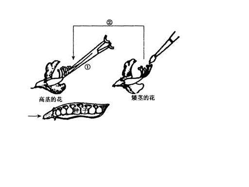 豌豆 简笔画 步骤